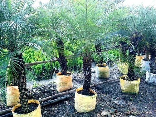 Phoenix Roebeleni Pygmy Date Palm At