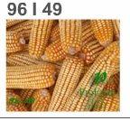 Yellow Corn Hybrid