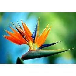 Bird Of Paradise Flowers Fresh Cut Flowers Flower Depot