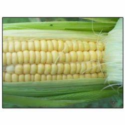 Hybrid Maize Suraj Moti (SCMH-401)