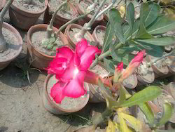 Adenium Plant - Adenum Plant Wholesaler & Wholesale Dealers in India