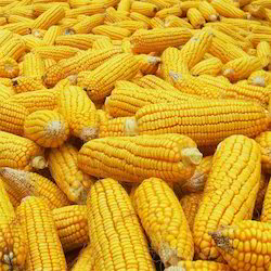 Natural Yellow,White Hybrid Maize Seeds, For Agriculture, Packaging Type: Bags