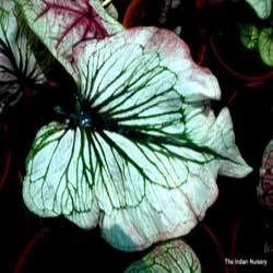 Hybrid Caladiums Indoor plant