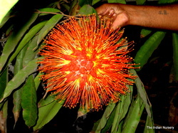 Brownea Gradiceps(Rare Flowering Plants/ Extinct Species)