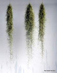 Tillandsia Aerophytes Air Plants Bromeliaceae
