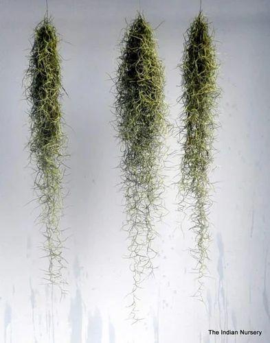 tillandsia aerophytes air plants bromeliaceae at rs 300 piece decorative plants for. Black Bedroom Furniture Sets. Home Design Ideas