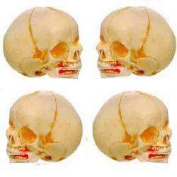 Infant Skull Model ( BEP/A 11115 )