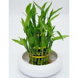 3 Layer Lucky Bamboo Plant