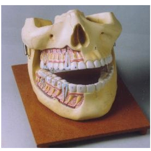 Human Upper And Lower Jaw, Human Anatomy Models | Dhulkot, Ambala ...
