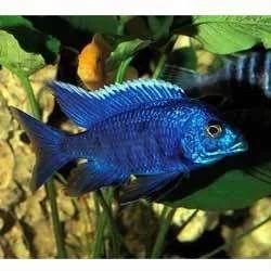 What is a cobalt blue cichlid?