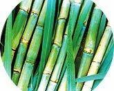 Breeder Seed of Sugarcane