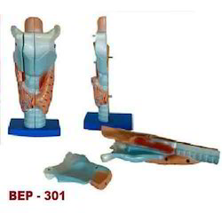 Magnified Human Larynx Model ( BEP-301)