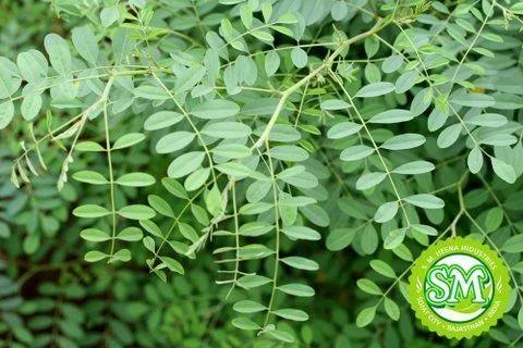 Indigo Herb Natural And Pure Herbs Sm Heena Industries In Sojat