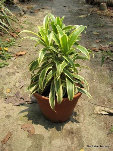 Indoor Plants Aglaonema Indoor Plants Exporter From Howrah
