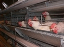 Breeders Battery Cages