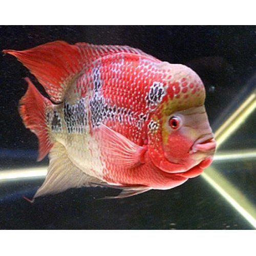 Flower Horn Fishes At Rs 2000 Each Floran Fish Flowerhorn