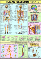 Human Skeleton For Human Physiology Chart
