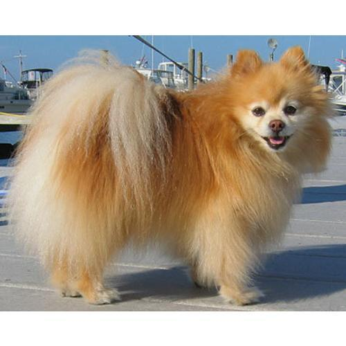 buy pomeranian buy pomeranian dog in delhi dogs breed sierramichelsslettvet 1645