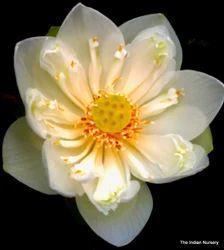 White Lotus / Padma / Sacred Lotus / Nelumbo nucifera