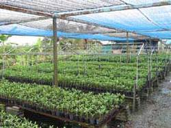 Maxima Nursery Ground Cover