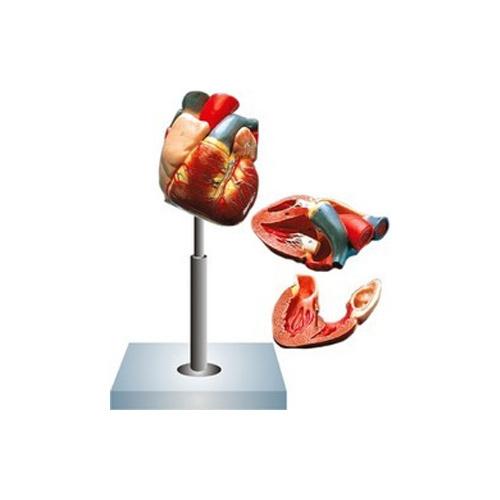 Four Parts Human Heart, Biological Models   Ambala Cantt, Ambala ...