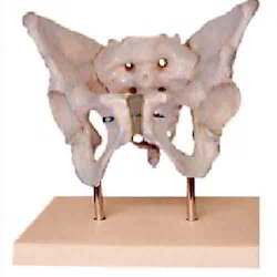 Adult Female Pelvis with Stand
