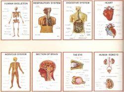 Anatomy 3D Chart