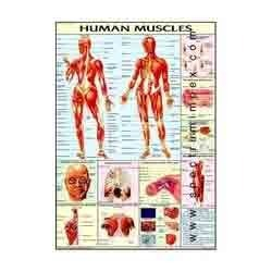 HP02S-Human Muscles