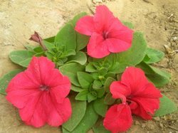 Petunia Seasonal Flower F1 Hybrid Seeds