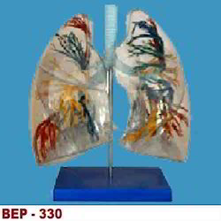 Model Of The Transparent Lung Segment ( BEP-330 )