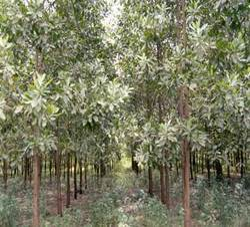 Teakwood Plant Nidan Biotech Manufacturer In Madhipura