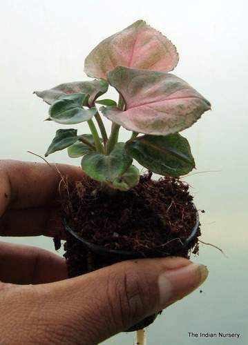 Syngonium Podophyllum Arrowhead Red Plants At Rs 30 Piece