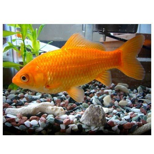 Common Goldfish Fish Madhu Fish Paradise Wholesaler In Gopinath