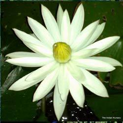 Night Blooming Water Lily(Pool plants)