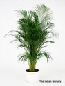 Areca Palm Bushy Decorative Plants